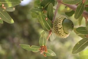 acorns and oak trees pic